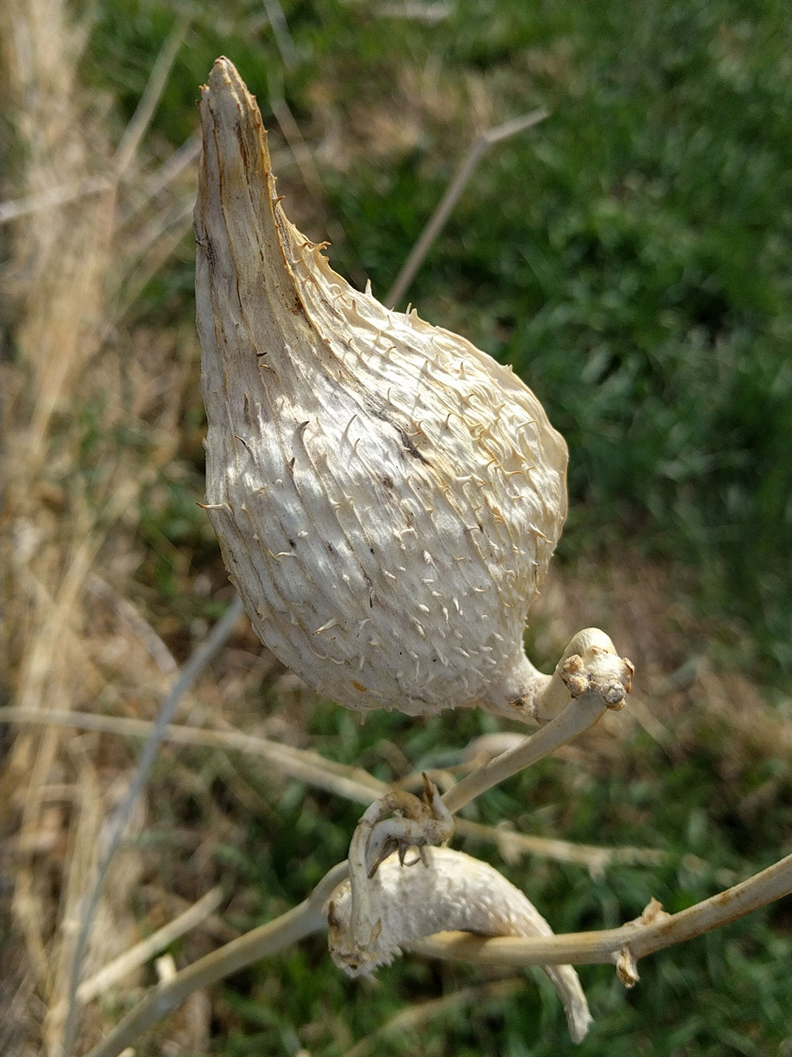 Dried milkweed pod husk against a background of fresh spring grasses